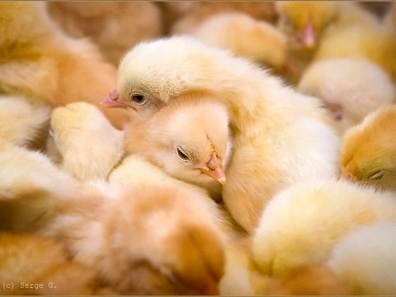 Уход за цыплятами в первый