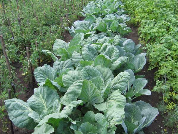 Высаженная на грядки капуста хорошо укоренилась.  Пора её слегка окучить и подкормить: хотя овощ этот и способствует...